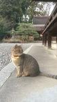 梅宮大社の猫3